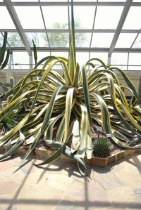 "The Largest succulent plant I have ever seen. I call it the ""Kracken"""